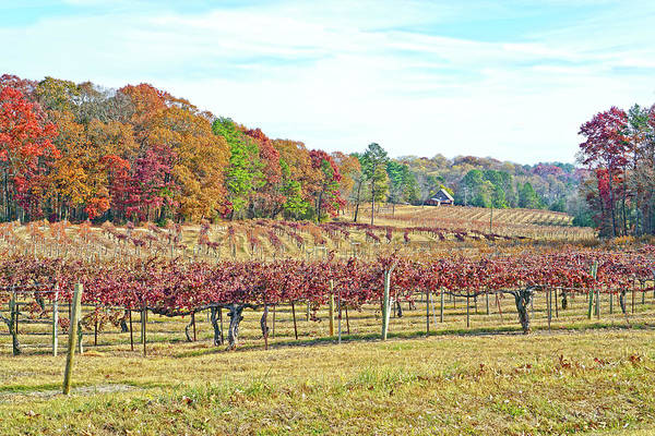 Photograph - Vineyard In Autumn by Susan Leggett