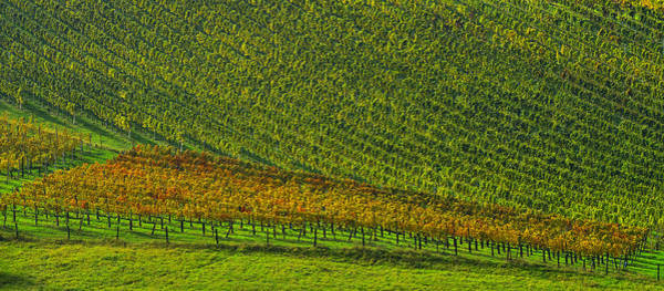 Photograph - Vineyard by Ivan Slosar