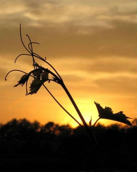 Photograph - Vineyard Sunset by Carolyn Jacob