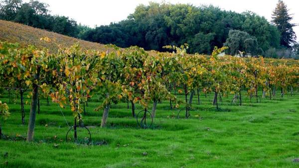 Photograph - Vineyards In California by Charlene Mitchell