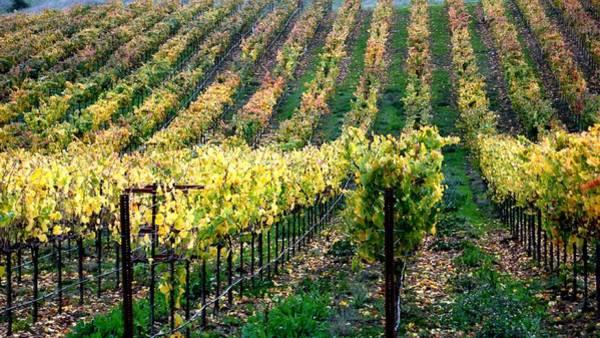 Photograph - Vineyards In Healdsburg by Charlene Mitchell