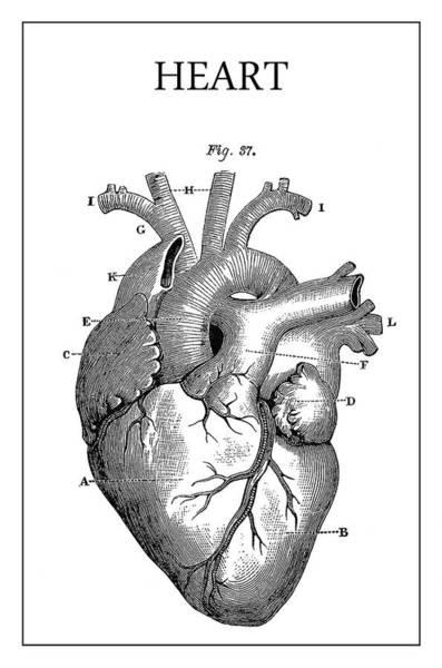 Wall Art - Digital Art - Vintage Anatomical Heart by Daniel Hagerman