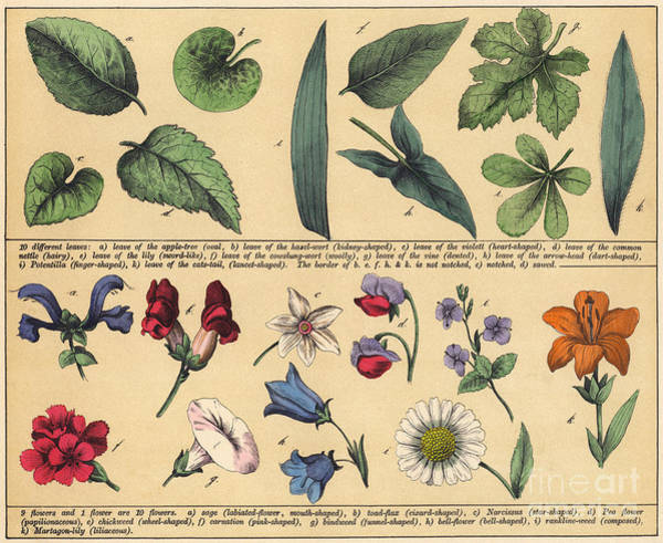 Weeds Drawing - Vintage Botanical Print Showing Variety Of Leaves And Flowers by English School