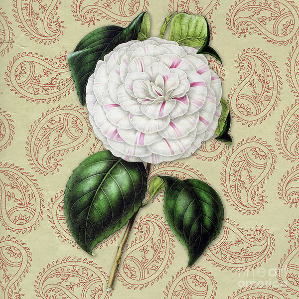 Wall Art - Digital Art - Vintage Botanical White And Pink Flower Camellia Japonica by Amy Cicconi