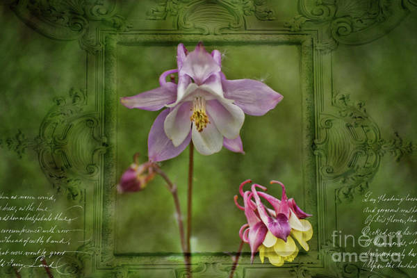 Photograph - Vintage Columbine  by Brenda Kean