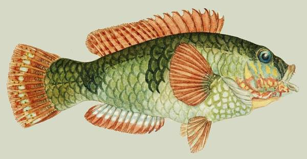 Green Parrot Drawing - Vintage Fish Drawing by David Maltez