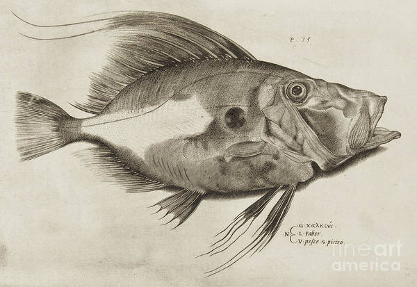 Gill Drawing - Vintage Fish Print by Antonio Lafreri