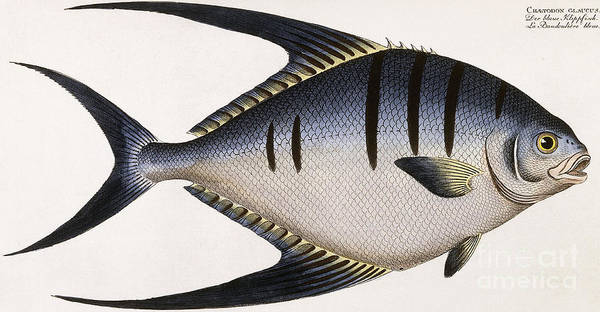 Gill Drawing -  Vintage Fish Print by German School