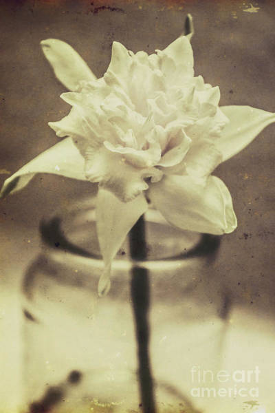 Antique Glass Photograph - Vintage Floral Still Life Of A Pure White Bloom by Jorgo Photography - Wall Art Gallery