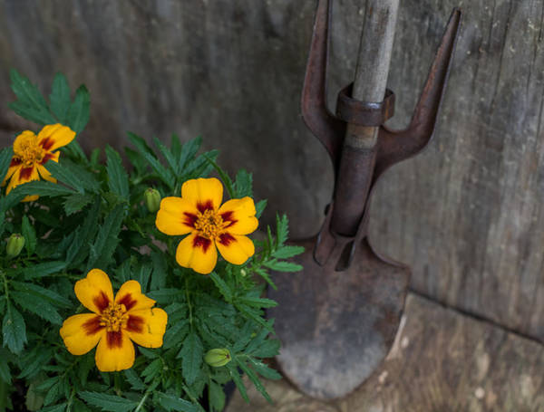 Photograph - Vintage Garden Tool And Marigolds by Terry DeLuco
