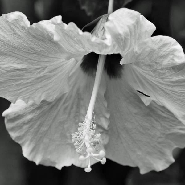 Photograph - Vintage Hibiscus II by Melanie Moraga