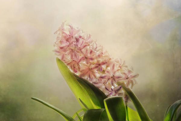 Wall Art - Photograph - Vintage Hyacinth by Susan Capuano