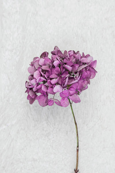 Photograph - Vintage Hydrangea by Maria Heyens