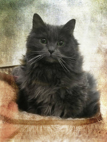 Photograph - Vintage Kitten Print by Joann Vitali