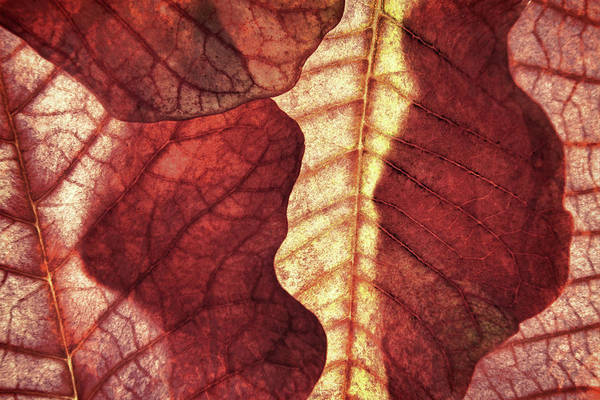 Photograph - Vintage Leaf Patterns I by Leda Robertson