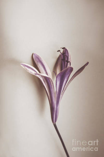 Agapanthus Photograph - Vintage Purple Bloom by Jorgo Photography - Wall Art Gallery