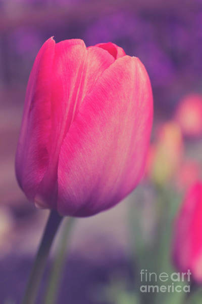 Wall Art - Photograph - Vintage Red Tulip Flower by Edward Fielding