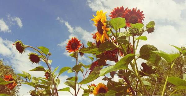 Photograph - Vintage Sunflowers by Amanda Smith