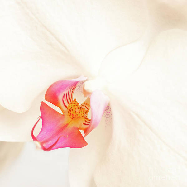 Pistil Wall Art - Photograph - White Orchid by Delphimages Photo Creations