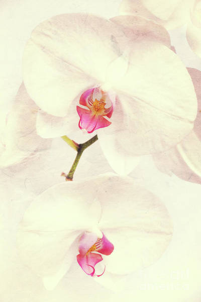 Orchid Photograph - Vintage White Orchids by Delphimages Photo Creations