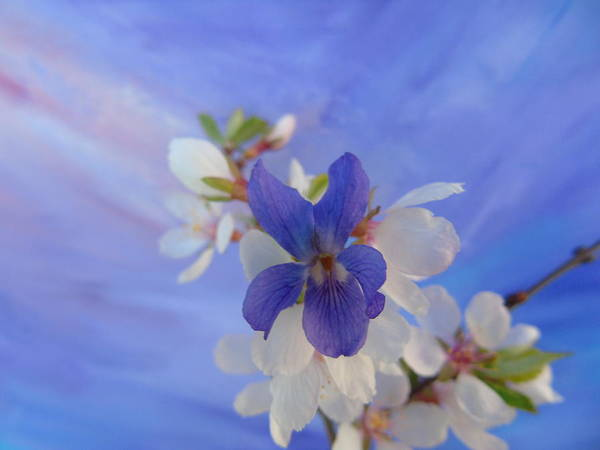 Photograph - Violet Cherry by Barbara St Jean