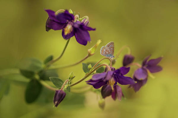 Nature Wall Art - Photograph - Violet Columbines by Jaroslaw Blaminsky