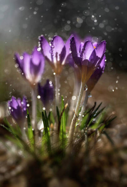 Wall Art - Photograph - Violet Crocuses In The Morning Rain by Jaroslaw Blaminsky