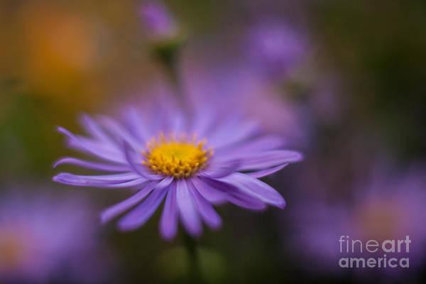 Gerbera Daisy Photograph - Violet Daisy Dreams by Mike Reid