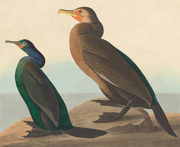 Cormorant Wall Art - Painting - Violet Green Cormorant And Townsend's Cormorant by John James Audubon