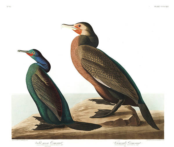 Cormorant Wall Art - Painting - Violet Green Cormorant by John James Audubon