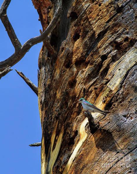 Violet-green Swallow Photograph - Violet-green by Jim Garrison
