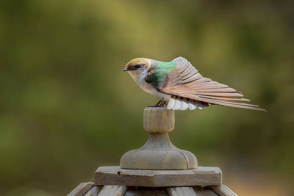 Violet-green Swallow Photograph - Violet-green Swallow 0806 by Kristina Rinell