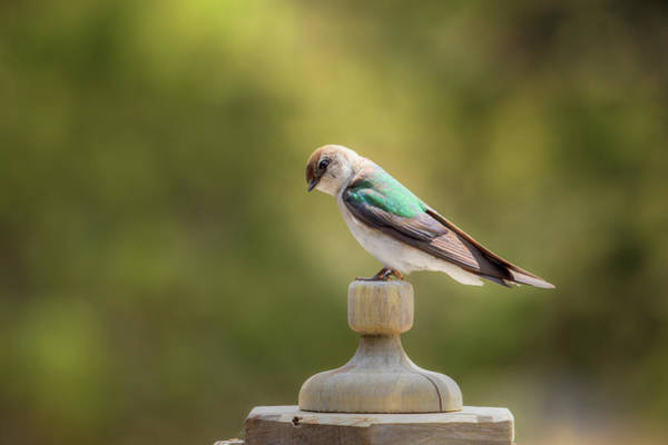 Violet-green Swallow Photograph - Violet-green Swallow 0834 by Kristina Rinell