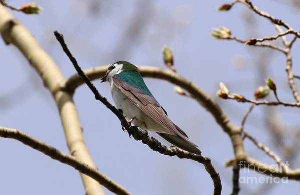 Violet-green Swallow Photograph - Violet Green Swallow by Angela Koehler