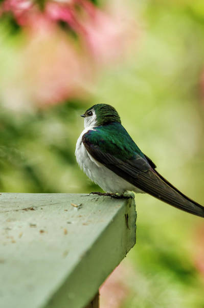 Violet-green Swallow Photograph - Violet-green Swallow by Belinda Greb