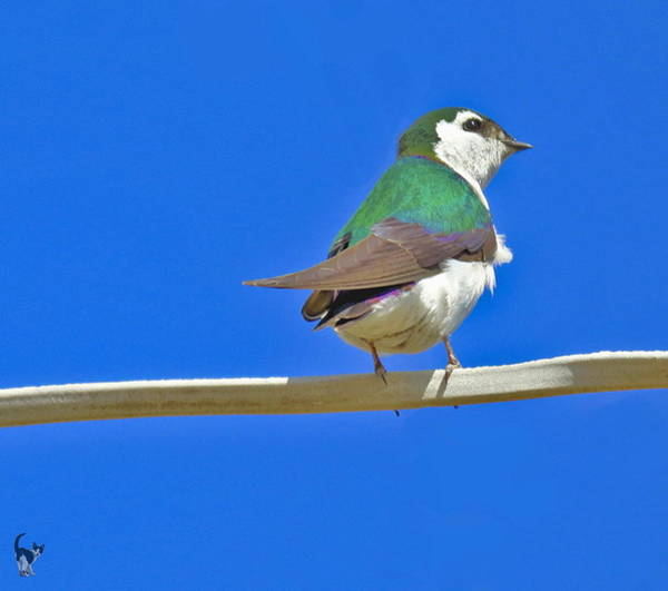 Violet-green Swallow Photograph - Violet Green Swallow Cropped by Joyce Dickens