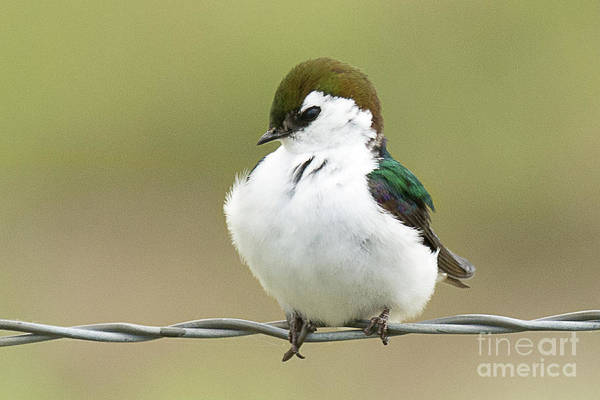 Violet-green Swallow Photograph - Violet Green Swallow by Dennis Hammer