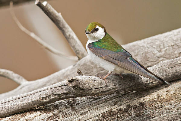 Violet-green Swallow Photograph - Violet-green Swallow In Montana 3 by Natural Focal Point Photography