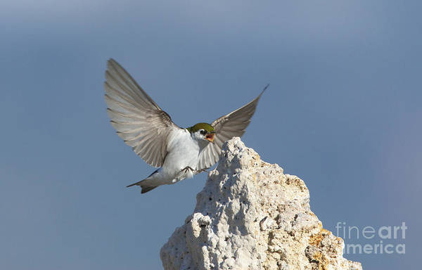 Violet-green Swallow Photograph - Violet-green Swallow Landing by Marie Read