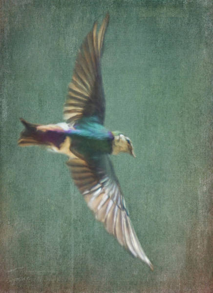 Photograph - Flying Tree Swallow 2 by Marilyn Wilson