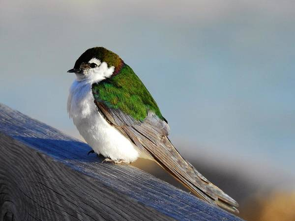 Violet-green Swallow Photograph - Violet Green Swallow by Nicole Belvill