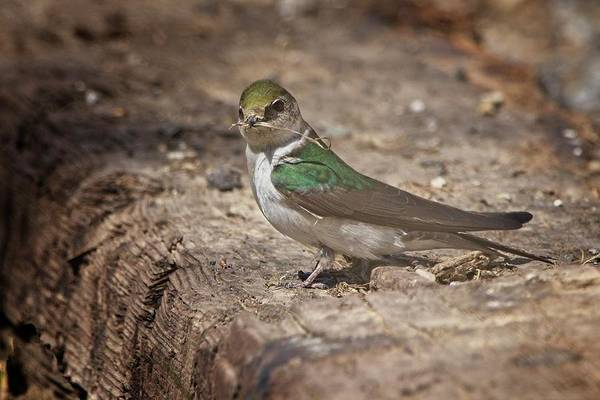 Violet-green Swallow Photograph - Violet-green Swallow by Rick Graham