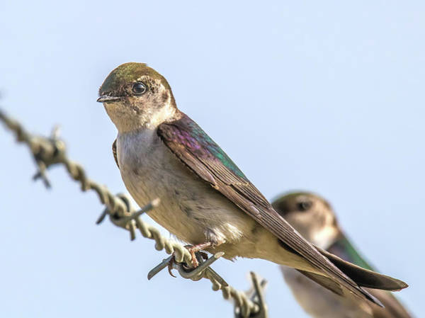 Violet-green Swallow Photograph - Violet-green Swallows by Carl Olsen