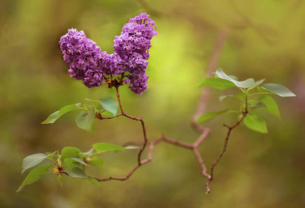 Wall Art - Photograph - Violet Lilac Flowers by Jaroslaw Blaminsky