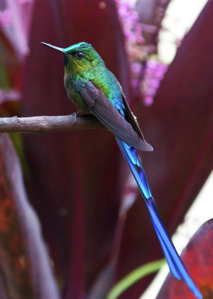 Photograph - Violet-tailed Sylph by Cascade Colors