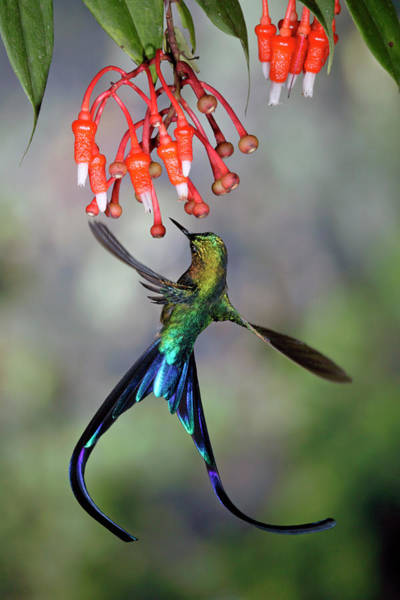 Mp Photograph - Violet-tailed Sylph Feeding by Michael and Patricia Fogden