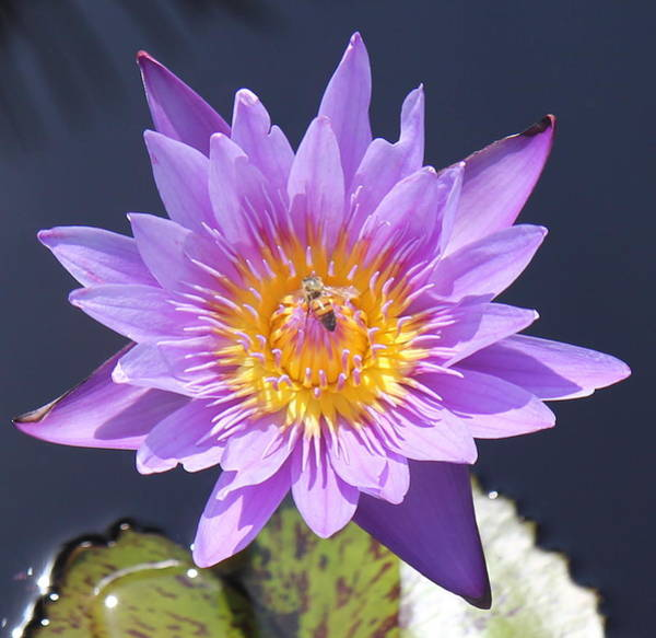 Photograph - Violet Water Lilly by Sean Allen