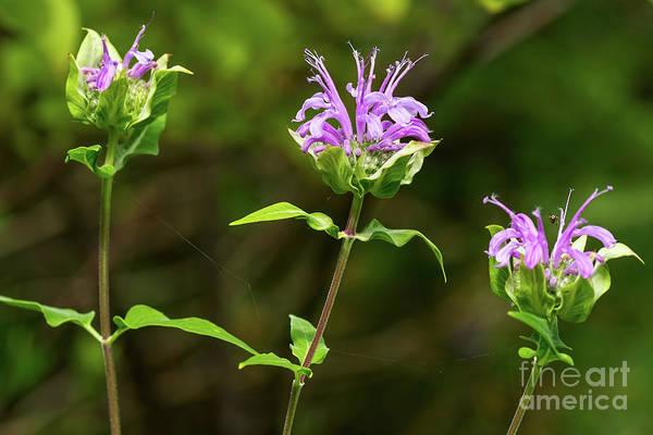 Photograph - Wild Bergamot Flowers by Les Palenik