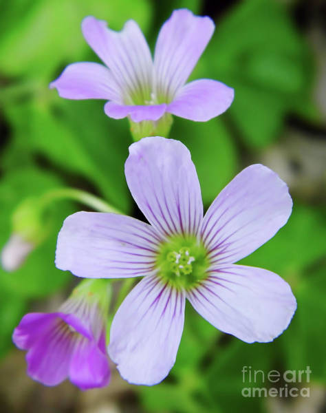 Photograph - Violet Wood Sorrel by D Hackett