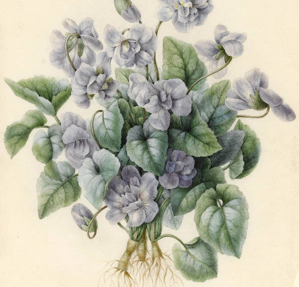 Violet Painting - Violets  by Aline Corbin